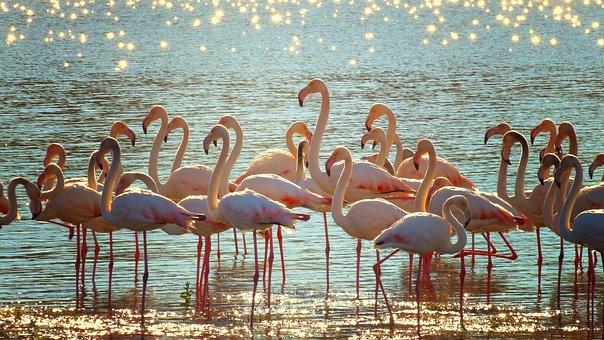 Flamingos, Lake, Shimmer, Water, Ripple, Pink, Wildlife
