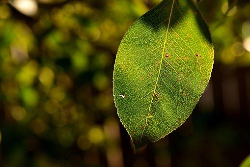 Leaf, Pear Leaf, Backlighting, Autumn, Late Summer