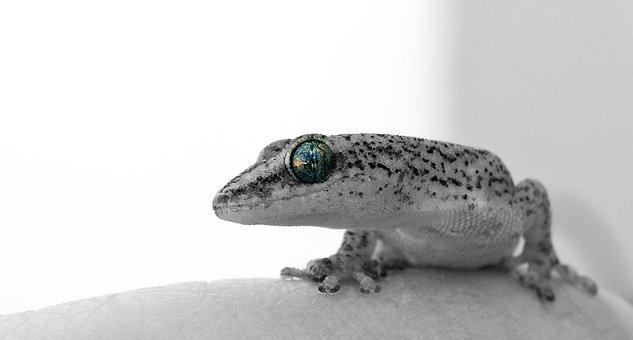 Gecko, Eye, Lizard, Face, Profile, Reptile, Animal