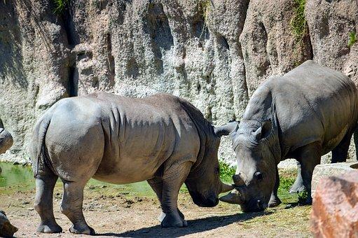 Torino, Zoom, Rhinos, Park, Rhino, Nature, Mammal
