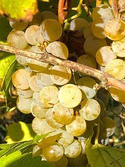 Grape, Fruit, Vine, Wine, Mature, Harvest, Power