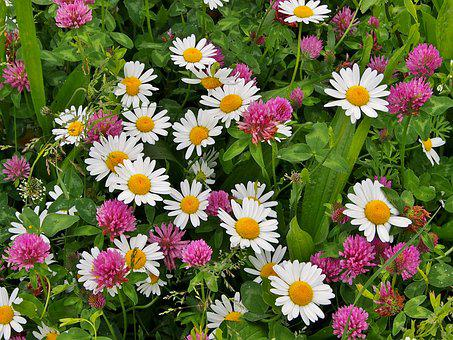 Clover, Wildflowers, Daisies, Red Clover, Meadow