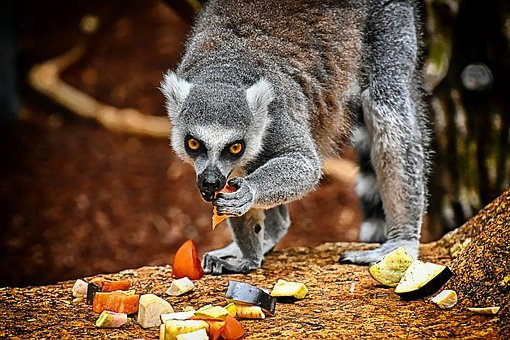 Monkey, Lemur, Cute, Eat, Zoo, äffchen, Sweet, Animal