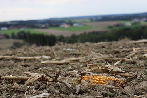 Corn, Field, Nature, Harvest, Landscape, Autumn, Arable
