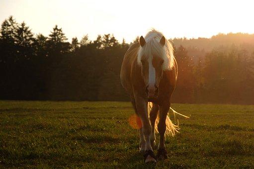 Horse, Animal, Pasture, Nature, Meadow, Haflinger