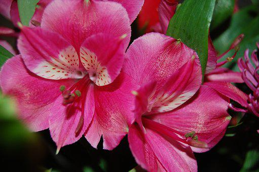 Pink, Floral, Spring, Nature, Garden, Blossoms, Petals