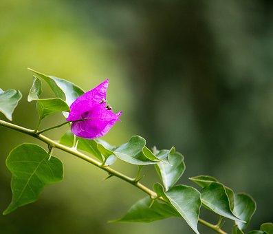 Bougainvillea, Triple Flower, Blossom, Bloom, Pink