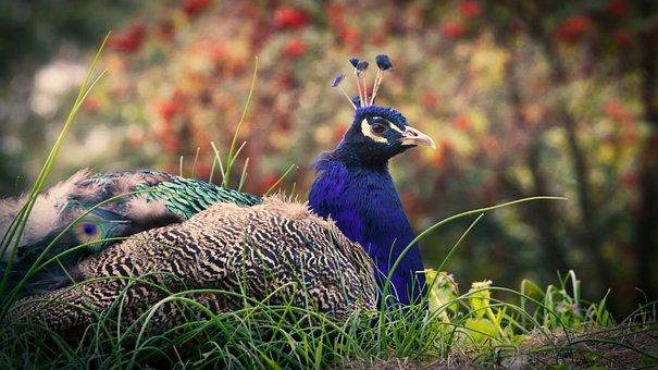 Peacock, Animal, Iridescent, Pride, Animal World, Bird