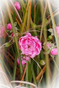 Rose, Pink, Blossom, Bloom, Romantic, Love, Nature