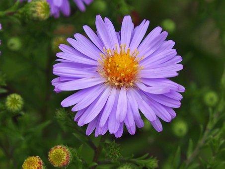 Aster, Purple, Autumn Flower, Small Flower