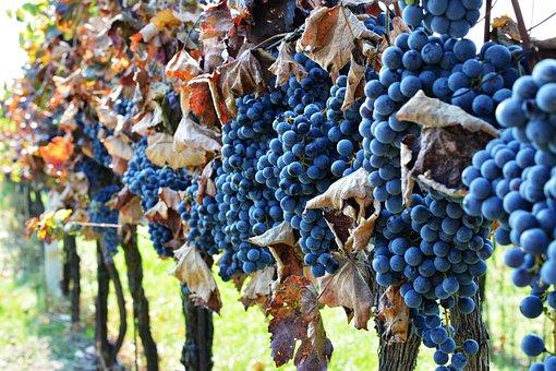 Vineyard, The Grapes, Wine, Grapevine, Viticulture
