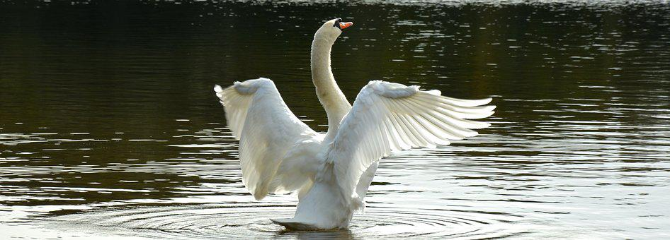 Swan, Bird, Water, Water Bird, White, Animal World