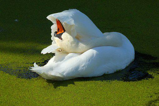 Swan, Ditch, Feathers, Waterfowl, Peck, Wings, Swimming