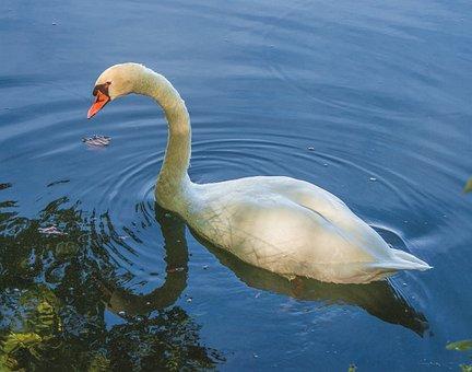 Swan, Ave, White, Animal, Pen, Wild, Peak, Wings