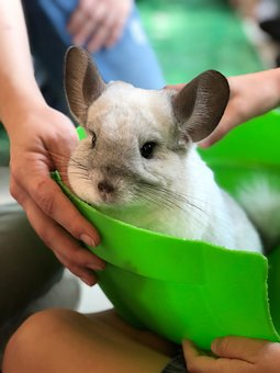 Chinchilla, Fluffy, Fury, Cute, Wild, Animal, Adorable