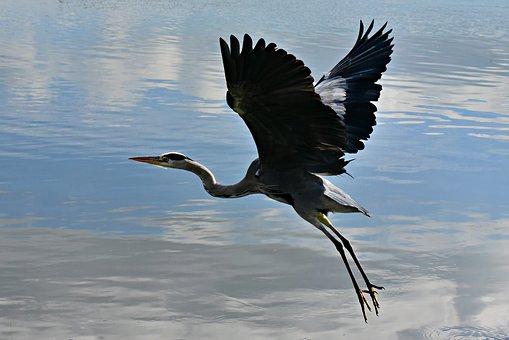 Heron, Wading Bird, Animal, Wildlife, Flight, Wing
