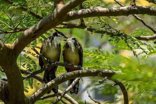 红耳鹎, Nature, Bird, Outdoor, Wildlife