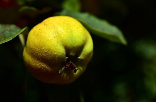 Quince, Tree, Branch, Yellow, Fruit, Leaf
