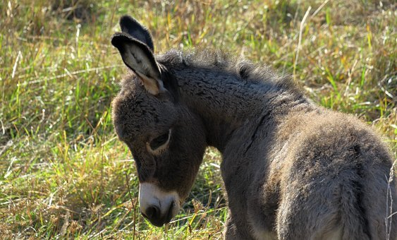 Donkey, Young Ass, Foal, Ears, Long Eared