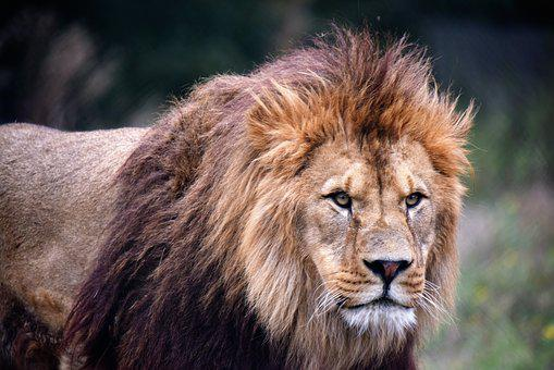 Lion, Tawny, Wild, Africa, Mane, Zoo, Animals, Nature