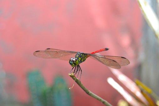 Dragonflies, Andarinyo, Indonesia
