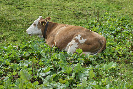 Cow, Rest, Whey, Alps, Austria, Nature, Grass, Cattle