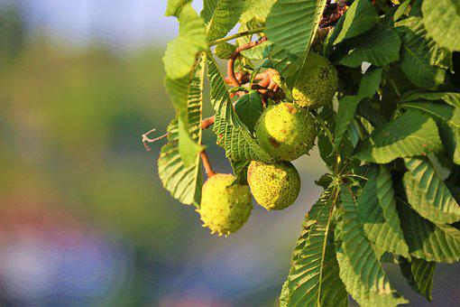 Chestnut, Fruit, Plant, Nature, Open Air, Autumn