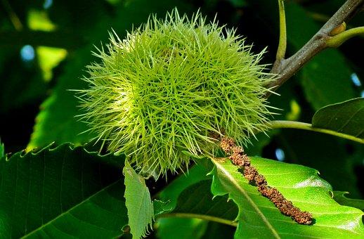 Castanea, Fruit, Maroni, Barbed, Tree, Green, Nature