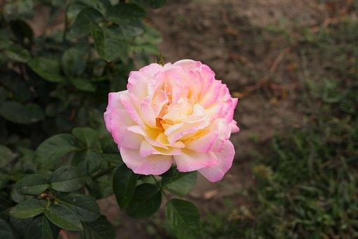 Autumn Flower, Pink Flower, Bloom, Beautiful