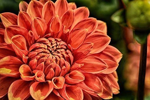 Dahlia, Plant, Flower, Blossom, Bloom, Nature, Petals