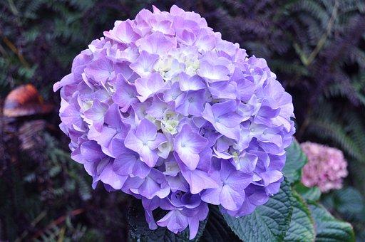 Hydrangea, Lavender Hydrangea, Lavender, Blossom, Bloom