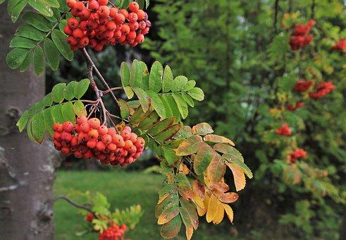 Jarzebina, Autumn, Sprig, Leaf, Closeup, Branch, Park