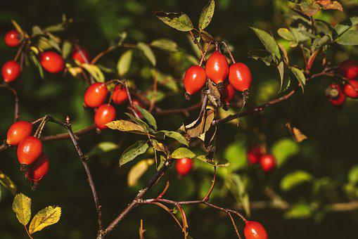 Rose Hip, Bush, Roses, Red, Nature, Plant, Wild Rose