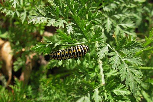 Caterpillar, Dovetail, Autumn, Late Girl