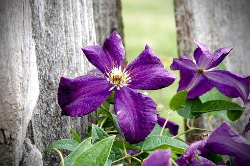 Clematis, Flower, Bloom, Plant, Blossom, Nature, Garden