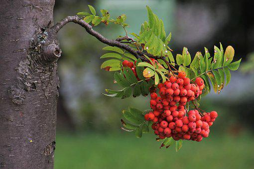 Jarzebina, Foliage, Autumn, Collapse, In The Fall