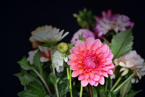 Dahlias, Flowers, Blossom, Bloom, Plant, Dahlia Garden