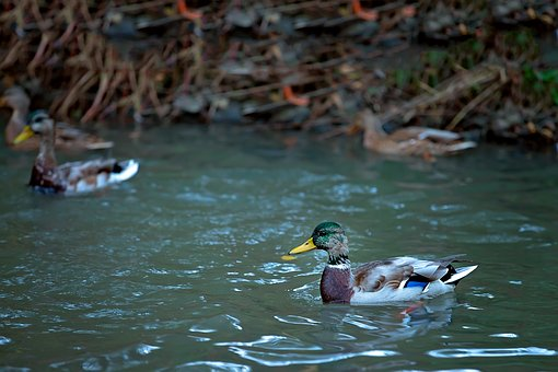 Duck, Small River, Body Of Water, Drake, Water