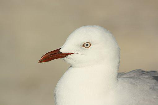 Seagull, Bird, Head, Beak, Eye, Red, Feathers, Wildlife