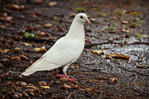 White Dove, Bird, Animal, Pigeon, Feathers, Beak, Eye