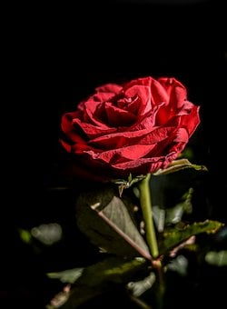 Rose, Flower, Red, Nature, Romantic, Love, Floral
