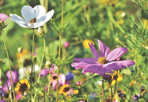 Cosmea, Flower, Flower Meadow, Meadow, Cosmos, Blossom