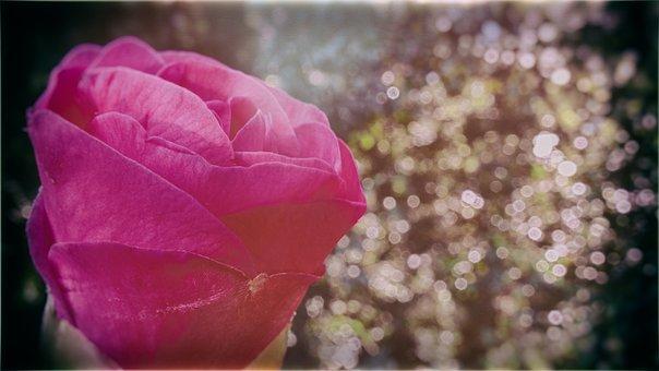 Rose, Pink, Sunlight, Summer, Flower, Bloom, Nature