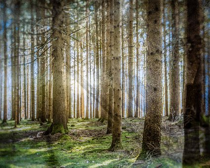 Tree, Forest, Nature, Landscape, Fog, Light, Sunbeam