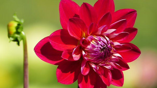 Nature, Garden, Flowers, Dahlia, Red, Blossom, Bloom
