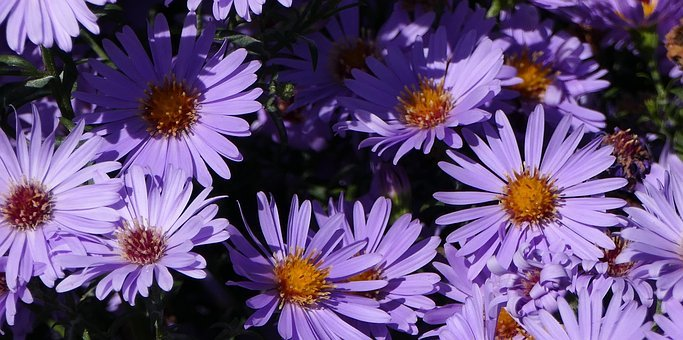 Nature, Garden, Flowers, Chrysanthemum, Violet, Shadow