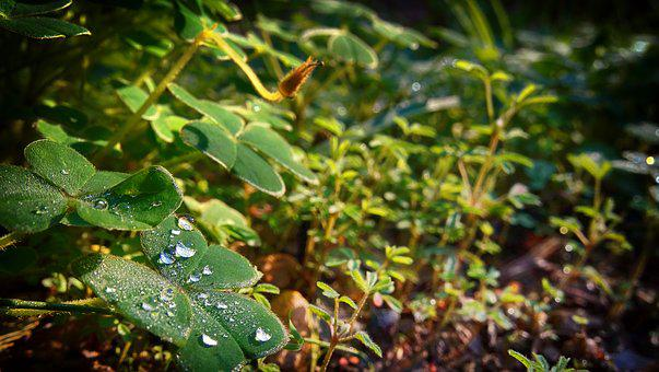 Clover, Grass, Droplets, Forest, Nature, Meadow, Green