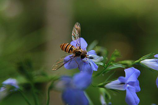 Insect, Hoverfly, Flying, Wing, Striped