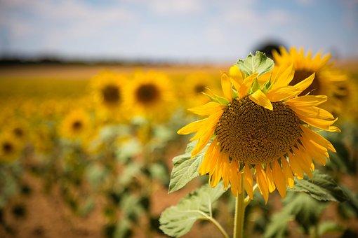 Sunflower, Spain, Landscape, Sunset, Sky, Nature