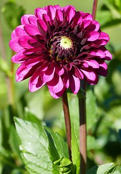 Nature, Garden, Flowers, Dahlia, Red Violet, Leaves